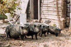Домочадец большие черные свиньи в ферме Сельское хозяйство свиньи поднимает и разводит отечественных свиней Стоковое Фото