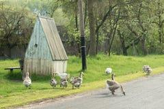 Домодельные гусыни пасут дорогой в деревне стоковая фотография