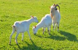 Домодельные козы на предпосылке травы стоковые фотографии rf