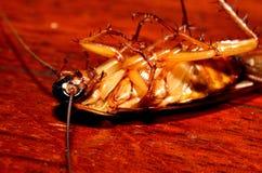 дом близкого таракана мертвая вверх Стоковые Фотографии RF