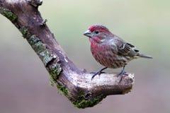 дом зяблика птицы стоковые изображения