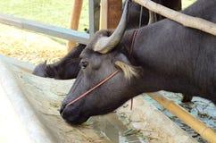 Дом индийского буйвола Стоковое фото RF