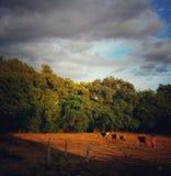 Дом коров идя задний от полей во время захода солнца стоковые изображения