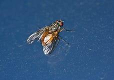 дом мухы Стоковое Фото