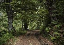 Дорога в глубоком ом-зелен лесе Стоковое Фото