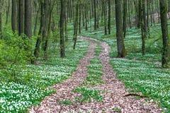 Дорога в лесе весны с красивыми белыми цветками Стоковое Изображение RF