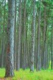Дорога в сосновый лес стоковое изображение rf
