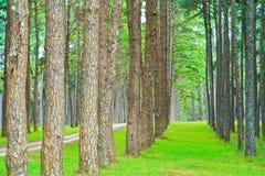 Дорога в лес сосенки Стоковая Фотография RF