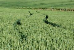 Дорога в земле пшеницы Стоковые Фотографии RF