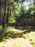Дорога в коммерчески лесе, Hogsback Стоковые Изображения RF