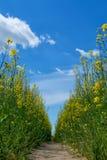 Дорога в поле рапса Стоковое Изображение