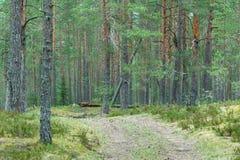 Дорога в пуще сосенки Стоковая Фотография RF