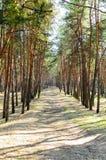 Дорога в пуще сосенки стоковое фото rf