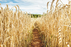 Дорога в пшеничном поле под голубым небом и облаками Стоковое Фото