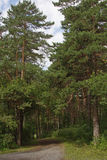 Дорога в сосновом лесе Стоковые Изображения RF