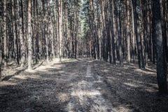 Дорога в сосновом лесе стоковые фото