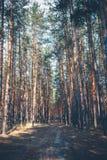 Дорога в сосновом лесе стоковая фотография