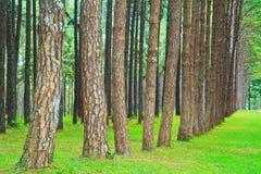 Дорога в сосновый лес стоковая фотография rf