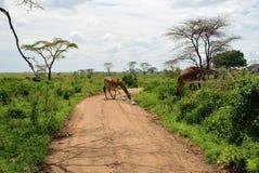 Дорога в Serengeti, Танзании стоковые фотографии rf