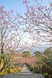 Дорога горы вишневого цвета в Тайване Стоковое Изображение RF
