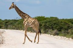 Дорога гравия скрещивания жирафа Стоковая Фотография RF