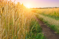 Дорога деревни в пшеничном поле с светом захода солнца вал времени земной хлебоуборки сада яблока возмужалый Стоковое Изображение RF