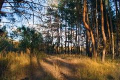 Дорога леса лета Сосновый лес Стоковая Фотография