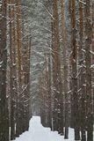 Дорога зимы в сосновом лесе стоковые фотографии rf