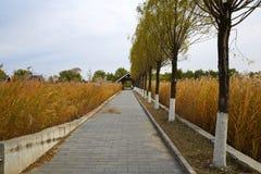Дорога и тростники, осень стоковые фото