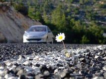 дорога маргаритки Стоковое Изображение RF