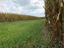 Дорога между 2 кукурузными полями стоковые изображения