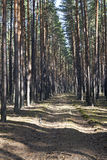 Дорога между соснами Стоковые Фотографии RF