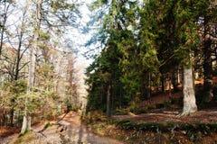 Дорога на лесе с деревьями пня и вечнозелёного растения в осени Стоковые Изображения RF