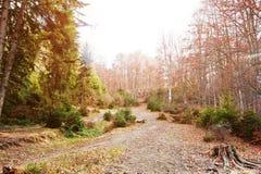 Дорога на лесе с деревьями пня и вечнозелёного растения в осени Стоковое Изображение RF