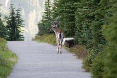 дорога осляка оленей сельской местности Стоковое Изображение RF