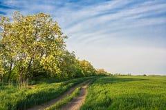 Дорога поля среди зеленых пшеницы и саранчи Стоковое Изображение