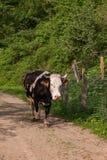 дорога Россия коровы altai Стоковая Фотография RF