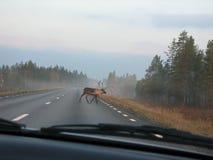 дорога северного оленя Стоковое Изображение RF