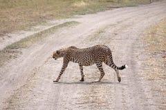 дорога скрещивания гепарда стоковые изображения rf
