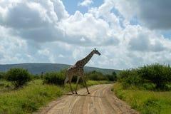 Дорога скрещивания жирафа в национальном парке Kruger Стоковое Изображение