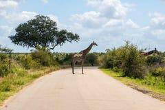 Дорога скрещивания жирафа в национальном парке Kruger Стоковое Фото