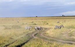 Дорога скрещивания зебры в Южной Африке Стоковая Фотография