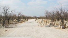 Дорога скрещивания зебр пылевоздушная в африканском национальном парке видеоматериал