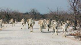 Дорога скрещивания зебр пылевоздушная в африканском национальном парке акции видеоматериалы