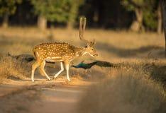 Дорога скрещивания оленей в сельской местности Стоковые Изображения RF