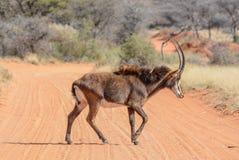 Дорога скрещивания Bull соболя Стоковые Фотографии RF