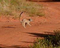 Дорога скрещивания Meerkat Стоковая Фотография RF
