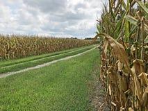 Дорога утеса между 2 кукурузными полями стоковое фото