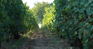 Дорога через виноградник Стоковые Изображения