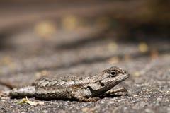 дорога ящерицы стоковое фото